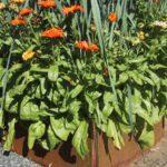 Blomkrukor med vårblommor