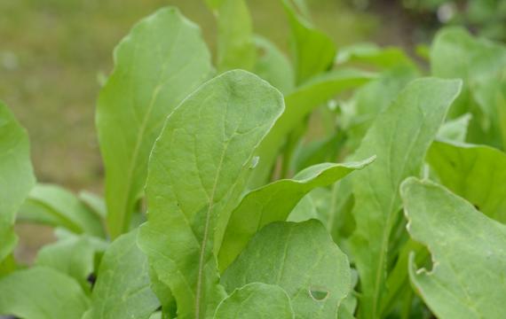Rucola odlas i trädgård