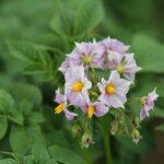 Släpp att hacka potatis – odling av potatis i odlingslådor!